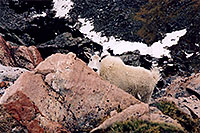 /images/133/2004-06-mtevans-goats3.jpg - #01550: Mountain Goats at Mt Evans … June 2004 -- Mt Evans, Colorado