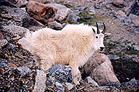 /images/133/2004-06-mtevans-goats4.jpg - #01551: Mountain Goats at Mt Evans … June 2004 -- Mt Evans, Colorado