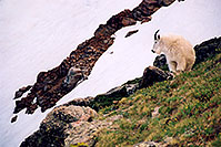 /images/133/2004-06-mtevans-goats5.jpg - #01552: Mountain Goats at Mt Evans … June 2004 -- Mt Evans, Colorado