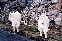 /images/133/2004-06-mtevans-goats6.jpg - #01553: Mountain Goats at Mt Evans … June 2004 -- Mount Evans Road, Mt Evans, Colorado