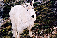 /images/133/2004-06-mtevans-goats7.jpg - #01554: Mountain Goats at Mt Evans … June 2004 -- Mt Evans, Colorado