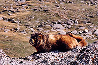 /images/133/2004-06-mtevans-marmot1.jpg - #01580: Marmot at 12,000 ft … along Mt Evans road … June 2004 -- Mt Evans, Colorado