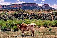 /images/133/2004-07-bryce-cows1.jpg - #01615: longhorn cows near Bryce … July 2004 -- Bryce Canyon, Utah