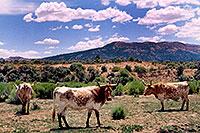 /images/133/2004-07-bryce-cows3.jpg - #01617: longhorn cows near Bryce … July 2004 -- Bryce Canyon, Utah