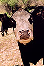 /images/133/2004-07-divide-cow.jpg - #01658: `oh not you again` … cow near Divide … July 2004 -- Divide, Colorado
