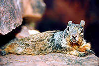 /images/133/2004-07-grand-squirrel1.jpg - #01726: friendly Squirrel posing in Grand Canyon … July 2004 -- Bright Angel Trail, Grand Canyon, Arizona