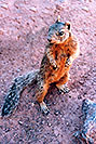 /images/133/2004-07-grand-squirrel3-v.jpg - #01701: friendly Squirrel posing in Grand Canyon … July 2004 -- Bright Angel Trail, Grand Canyon, Arizona
