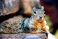 /images/133/2004-07-grand-squirrel4.jpg - #01729: friendly Squirrel posing in Grand Canyon … July 2004 -- Bright Angel Trail, Grand Canyon, Arizona