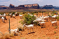 /images/133/2004-07-monvalley-2.jpg - #01743: Goats in Monument Valley … July 2004 -- Monument Valley, Utah