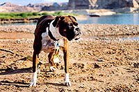 /images/133/2004-07-powell2-dog2.jpg - #01754: (Boxer) … Lake Powell … July 2004 -- Lone Rock, Lake Powell, Utah