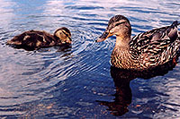 /images/133/2004-07-rocky-ducks03.jpg - #01789: duckling with mother duck at Sprague Lake … July 2004 -- Sprague Lake, Rocky Mountain National Park, Colorado