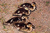 /images/133/2004-07-rocky-ducks06.jpg - #01792: 4 ducklings near a river by Sprague Lake … July 2004 -- Sprague Lake, Rocky Mountain National Park, Colorado