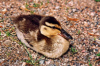 /images/133/2004-07-rocky-ducks07.jpg - #01793: duckling near a river by Sprague Lake … July 2004 -- Sprague Lake, Rocky Mountain National Park, Colorado