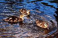 /images/133/2004-07-rocky-ducks09.jpg - #01795: 3 ducklings at a river by Sprague Lake … July 2004 -- Sprague Lake, Rocky Mountain National Park, Colorado