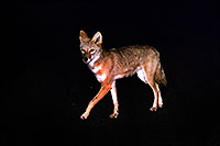 /images/133/2004-08-coyote-night.jpg - #01812: Coyote on the road of Mt Evans  … eating night flies, not attacking me  … August 2004 -- Mt Evans, Colorado