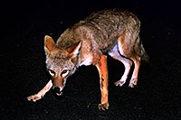 /images/133/2004-08-coyote1.jpg - #01845: Coyote on the road of Mt Evans  … eating night flies, not attacking me  … August 2004 -- Mt Evans, Colorado