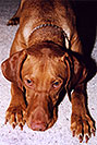 /images/133/2004-08-jack03-v.jpg - #01881: friendly Jack (Vizsla) in Cherry Creek … August 2004 -- Cherry Creek, Colorado