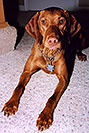 /images/133/2004-08-jack06-v.jpg - #01884: friendly Jack (Vizsla) in Cherry Creek … August 2004 -- Cherry Creek, Colorado