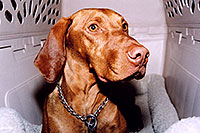 /images/133/2004-08-jack10.jpg - #01917: friendly Jack (Vizsla) in Cherry Creek … August 2004 -- Cherry Creek, Colorado