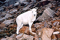/images/133/2004-08-mountain-goats-lit1.jpg - #01947: little Mountain Goat at Mt Evans … August 2004 -- Mt Evans, Colorado