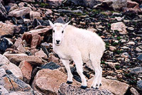 /images/133/2004-08-mountain-goats-lit2.jpg - #01948: little Mountain Goat at Mt Evans … August 2004 -- Mt Evans, Colorado