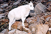 /images/133/2004-08-mountain-goats-lit3.jpg - #01942: little Mountain Goat at Mt Evans … August 2004 -- Mt Evans, Colorado