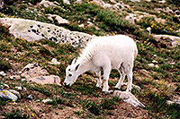 /images/133/2004-08-mountain-goats-lit4.jpg - #01915: little Mountain Goat at Mt Evans … August 2004 -- Mt Evans, Colorado