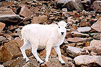 /images/133/2004-08-mountain-goats-lit5.jpg - #01916: little Mountain Goat at Mt Evans … August 2004 -- Mt Evans, Colorado
