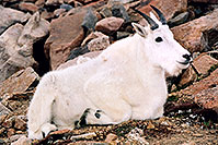 /images/133/2004-08-mountain-goats1.jpg - #01937: Mountain Goats at Mt Evans … August 2004 -- Mt Evans, Colorado