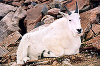 /images/133/2004-08-mountain-goats2.jpg - #01938: Mountain Goats at Mt Evans … August 2004 -- Mt Evans, Colorado