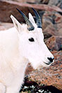 /images/133/2004-08-mountain-goats3.jpg - #01939: Mountain Goats at Mt Evans … August 2004 -- Mt Evans, Colorado