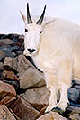 /images/133/2004-08-mountain-goats4-v.jpg - #01905: Mountain Goats at Mt Evans … August 2004 -- Mt Evans, Colorado
