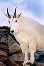 /images/133/2004-08-mountain-goats5.jpg - #01941: Mountain Goats at Mt Evans … August 2004 -- Mt Evans, Colorado