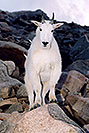 /images/133/2004-08-mountain-goats6-v.jpg - #01907: Mountain Goats at Mt Evans … August 2004 -- Mt Evans, Colorado
