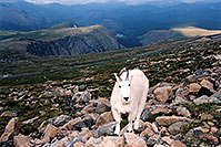 /images/133/2004-08-mountain-goats7.jpg - #01943: Mountain Goats at Mt Evans … August 2004 -- Mount Evans Road, Mt Evans, Colorado