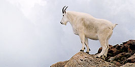 /images/133/2004-08-mountain-goats8-pano.jpg - #01944: Mountain Goats at Mt Evans … August 2004 -- Mt Evans, Colorado