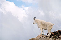 /images/133/2004-08-mountain-goats8.jpg - #01944: Mountain Goats at Mt Evans … August 2004 -- Mt Evans, Colorado