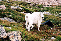 /images/133/2004-08-mountain-goats9.jpg - #01946: Mountain Goats at Mt Evans … August 2004 -- Mt Evans, Colorado