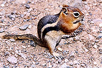 /images/133/2004-08-wolfcreek-chipmunk1.jpg - #02031: Chipmunks near Wolf Creek Pass … August 2004 -- Wolf Creek Pass, Colorado
