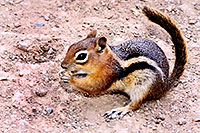 /images/133/2004-08-wolfcreek-chipmunk2.jpg - #02032: Chipmunks near Wolf Creek Pass … August 2004 -- Wolf Creek Pass, Colorado