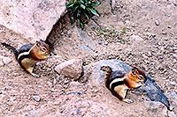 /images/133/2004-08-wolfcreek-chipmunk3.jpg - #02033: Chipmunks near Wolf Creek Pass … August 2004 -- Wolf Creek Pass, Colorado