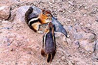 /images/133/2004-08-wolfcreek-chipmunk4.jpg - #02034: Chipmunks near Wolf Creek Pass … August 2004 -- Wolf Creek Pass, Colorado