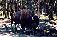 /images/133/2004-08-yello-buffalo1.jpg - #02026: Buffalo just 20 feet away from our car … August 2004 -- Yellowstone, Wyoming