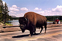 /images/133/2004-08-yello-buffalo3.jpg - #02064: crossing Fishing Bridge in correct lane … August 2004 -- Yellowstone, Wyoming