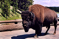 /images/133/2004-08-yello-buffalo4.jpg - #02065: solitary 3,000 pounder male after crossing Fishing Bridge … August 2004 -- Yellowstone, Wyoming