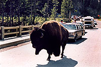 /images/133/2004-08-yello-buffalo5.jpg - #02066: crossing the bridge … August 2004 -- Yellowstone, Wyoming