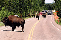 /images/133/2004-08-yello-buffalo6.jpg - #02067: pack leader stops to observe an approaching solitary male … August 2004 -- Yellowstone, Wyoming