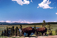 /images/133/2004-08-yello-buffalo7.jpg - #02032: Buffalo by Fairy Creek … August 2004 -- Fairy Creek, Yellowstone, Wyoming