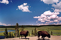 /images/133/2004-08-yello-buffalo8.jpg - #02033: Buffalo by Fairy Creek … August 2004 -- Fairy Creek, Yellowstone, Wyoming
