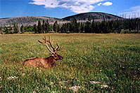 /images/133/2004-08-yello-elk2.jpg - #02072: Elk in Yellowstone Park … August 2004 -- Yellowstone, Wyoming